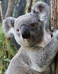 Adventure: Koala-fied Kids at Daisy Hill Koala Centre